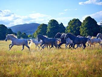 Lipizzaner Horses Ranch